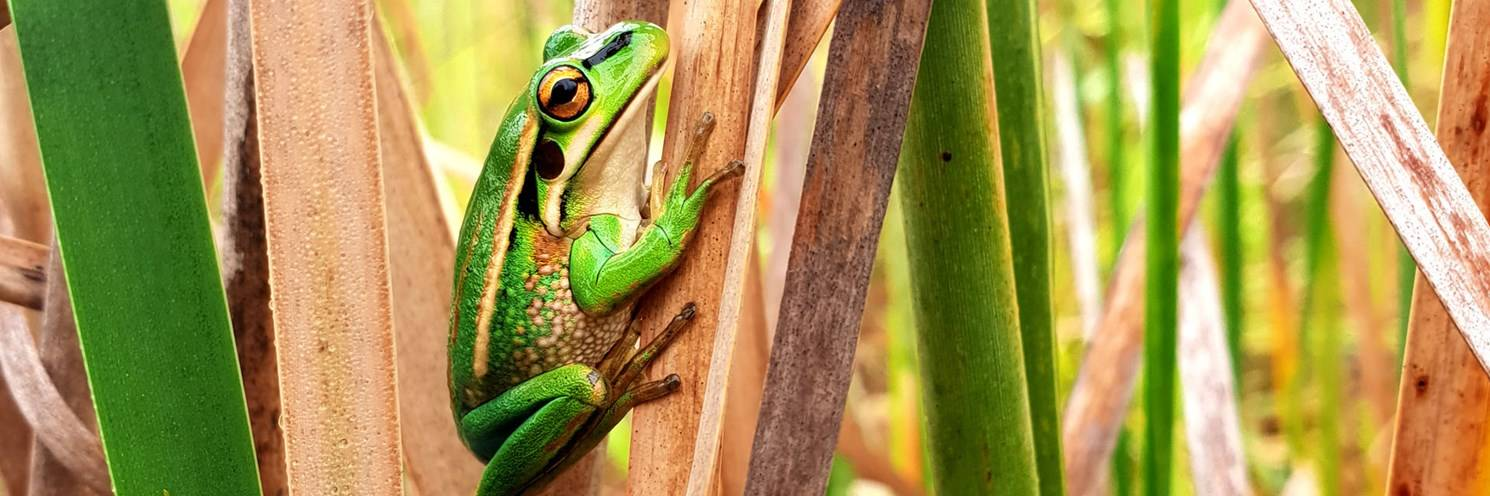 green bell frog of sydney oylmpic park on tree