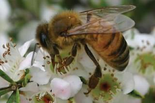 honey bee feeding in tea tree flowers Assets with Eyes