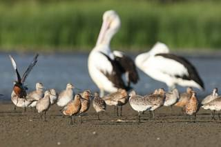 Migratory Bar-tailed Godwits at the Waterbird Refuge © Jon Irvine