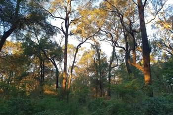 The aim of the seed collecting and planting is to reproduce Sydney Turpentine Ironbark Forest, the original plant community at Sydney Olympic Park.
