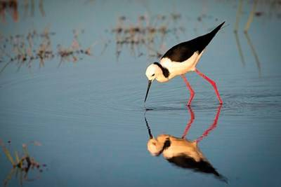 The Black-winged Stilt is a resident shorebird found in large numbers at the Waterbird Refuge © Kay Gordon