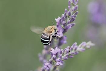 Blue banded bee Assets with Eyes