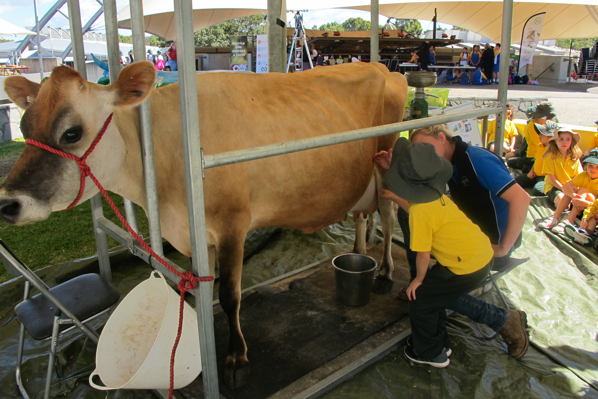 Sydney Showground -  Youth Eco Summit cow milking demonstration - Photo by James Horan